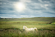 Icelandic horse in a field.