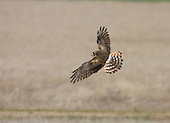 Montagu's Harrier - Circus pygargus - female