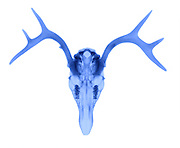X-Ray of a White Tailed Deer (Odocoileus virginianus).