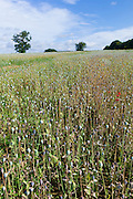 Poppies and wildflowers in a meadow at Fonthill Gifford  in Wiltshire, UK