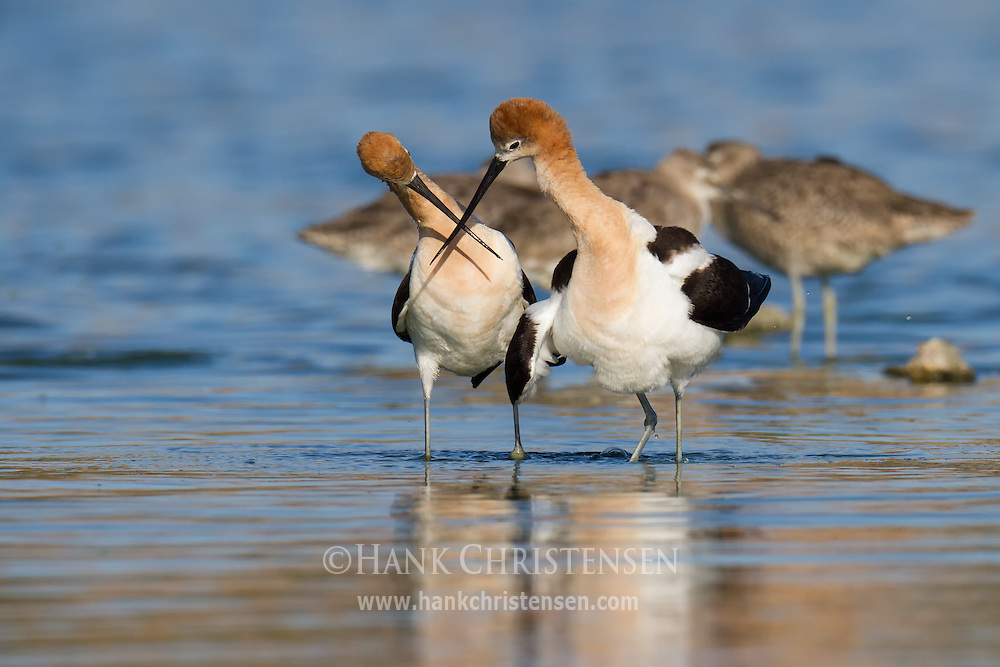 Two american avocets cross bills as they walk side-by-side in a circle, part of their post-mating ritual