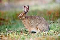 Snowshoe hare (lepus americanus) feeding on grasses, Cherry Hill, Nova Scotia, Canada,