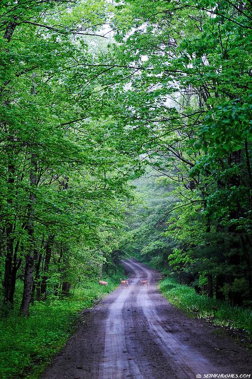 A family of deer crossing a narrow, dirt road in rural Virginia.