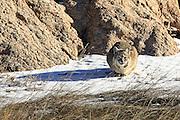 Bobcat (Lynx rufus) in Habitat Bobcat (Lynx rufus) in winter habitat