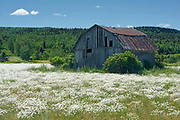 Barn and wildlflowers (Common daisies)<br />