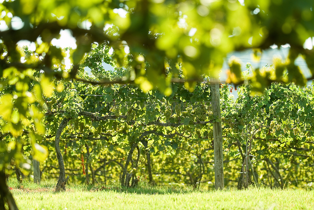Vineyard with grape vines Wine grapes