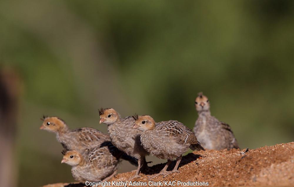 Gambel's quail; Callipepla gambelii; baby,  Arizona; Sonoran Desert;  Summer