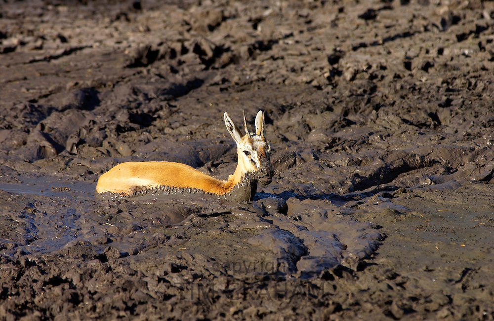 Young Thomsons Gazelle stuck in the mud of a  drying river bed, Grumeti area, Tanzania