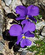 Alpine violet flower. Kandersteg is a great base for hiking in Switzerland. For example: an epic hike from Selden in Bern canton traverses Lötsch glacier and Lötschen Pass (German: Lötschenpass, Swiss German: Lötschepass) to neighboring Lötschental in Valais canton; hiking poles recommended. The walk starts with a reserved Postbus ride from Kandersteg to Selden (in Gasterntal / Gasteretal / Gasterental), climbs 1350 meters, descends 925 m, and ends 13 km later at Lauchernalp lift station, which descends to Wiler in Lötschental, to reach Goppenstein via Postbus, back to Kandersteg via train. You can also reverse the route or stay overnight in dorms at Lötschepass hut.