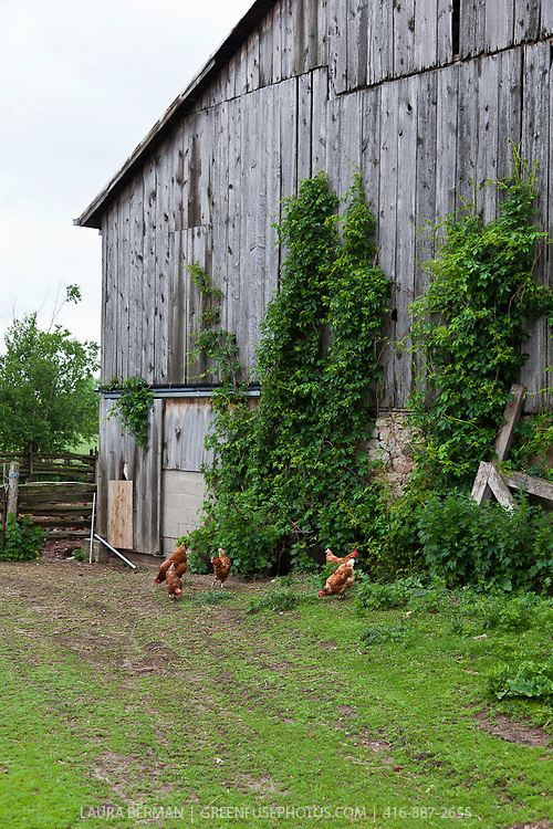 Chickens foraging in a farm yard outside of a large barn.