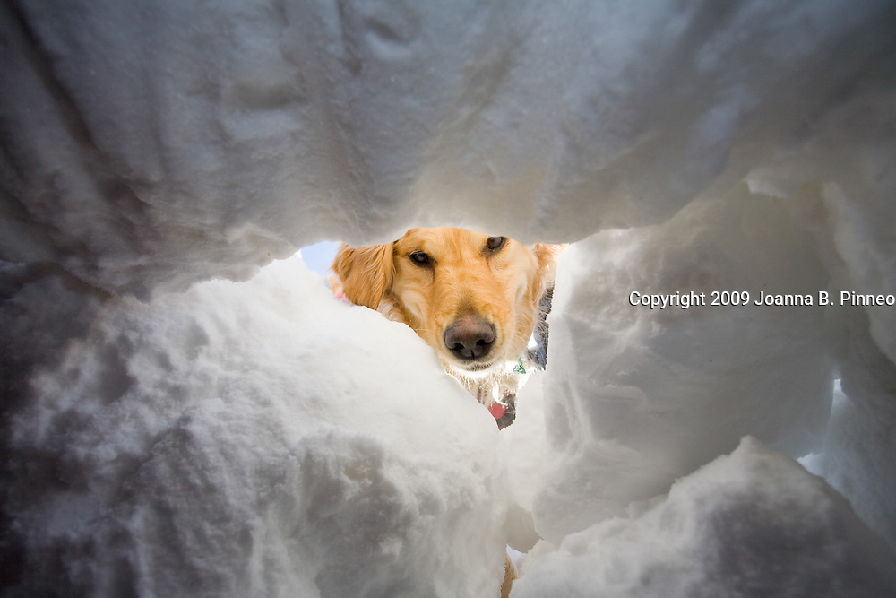 John Reller, the Rescue leader from Copper Mountain Ski Patrol, dug a snow cave as part of a demonstration on avalanche rescue.  Reller then let Tracker, his rescue dog, go to find the person buried. Tracker sniffed and ran around the huge snow bank looking for the person buried. Tracker smelled the human through the snow, she checked out scents, ran up and down the snow bank and then zeroed in on the scent.