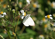 A Cabbage White Butterfly feeding on nectar from Jekyll Island flowers.