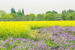 April 25, 2018 - Jiaxing, Jiaxing, China - Jiaxing, CHINA-25th April 2018: Cole flowers blossom at Wuzhen Ancient Town in Jiaxing, east China's Zhejiang Province. (Credit Image: © SIPA Asia via ZUMA Wire)