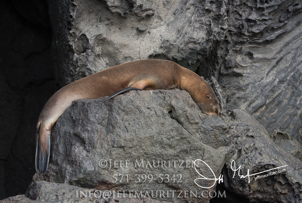A Galapagos fur sea lion rest near a cliff on Genovesa island in the Galapagos.