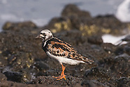 Ruddy Turnstone photos