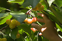 Ranier cherries start to ripen to a golden color, with a bit of red to finish, in an orchard in the Okanagan, BC Canada.