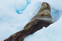 Seal laying on the ice resting and scratching in Antarctica. Nature and wildlife photography wall art. Fine art photography prints