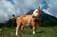 DEU, Deutschland: Hausrind (Bos taurus), Kuh steht auf einer Bergwiese, im Hintergund wolkenverhangene Berge, Rasse: Fleckvieh, Simmentaler, Berchtesgadener Land, Süddeutschland | DEU, Germany: Domestic cattle (Bos taurus), cow standing on pasture, cloud-imposed mountains in background, race: Simmental Cattle, Berchtesgadener Land, Bavaria, Southern Germany |