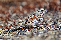 Song Sparrow (Melospiza melodia) foraging for seed in garden,  Cherry Hill, Nova Scotia, Canada,