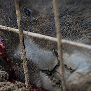 "TOMIOKA TOWN, JAPAN - MARCH 30 : Wild boars killed by a pellet gun is seen inside a booby trap at a residential area near Tokyo Electric Power Co's (TEPCO) tsunami-crippled Fukushima Daiichi nuclear power plant in Tomioka town, Fukushima prefecture, Japan, March 30, 2017. According to Shoichiro Sakamoto, "" The Japanese government should put up a big organization to help us solve this problem, otherwise it will be much more harder to manage this problem in the future."" (Photo by Richard Atrero de Guzman/NUR Photo)"