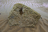 Barnacles on rock at low tide
