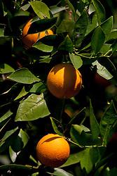 Orange tree with oranges
