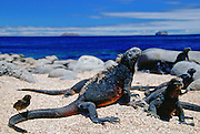 Darwin's Finch on tail of  marine iguana one of a group on the beach, Galapagos Islands, Ecuador RESERVED USE - NOT FOR DOWNLOAD -  FOR USE CONTACT TIM GRAHAM