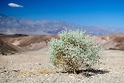 A single plant clings to life on the desert floor in Death Valley National park.