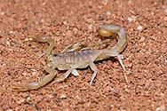 Stripetail Scorpion, Vaejovis spinigerus