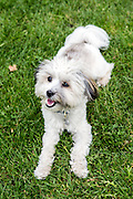 Local dogs in London - this Gracie, a young Havanese