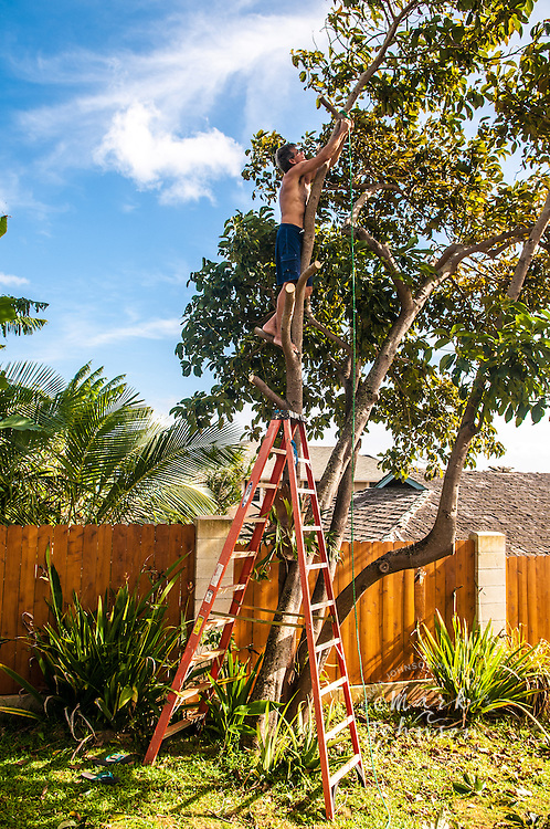 Man trimming avocado tree, Kauai, Hawaii