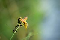 Golden stonefly. Deschutes River, Oregon.