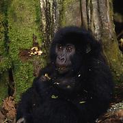 Portrait of a baby mountain gorilla in Volcanoes National Park Rwanda, Africa.