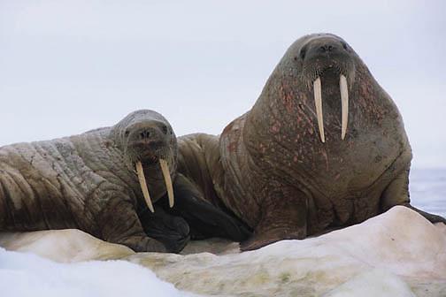 Walrus, (Odobenus rosmarus) Pair resting on iceberg off Baffin Island. Canada.