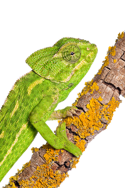 Common chameleon, Chameleo chameleon, Spain