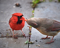 Father feeding Immature Northern Cardinal. Image taken with a Nikon D5 camera and 600 mm f/4 VR telephoto lens (ISO 1600, 600 mm, f/8, 1/200 sec).