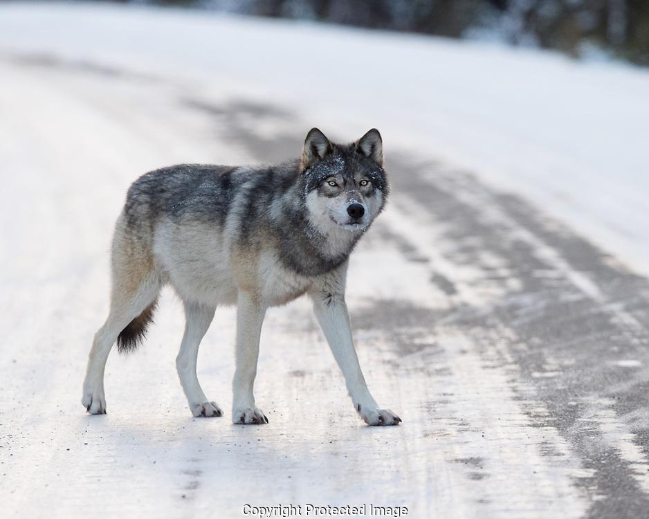 Female Grey Wolf (Canus lupus), Alberta, Canada, Isobel Springett