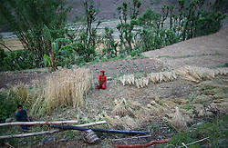 """RUKUM DISTRICT, NEPAL, APRIL 15, 2004:  Nepalese farmers harvest wheat in Rukum District April 15, 2004.  All of the people in this region have declared themselves Maoists and those who are not, have left the area. Analysts and diplomats estimate there about 15,000-20,000 hard-core Maoist fighters, including many women, backed by 50,000 """"militia"""".  In their remote strongholds, they collect taxes and have set up civil administrations, and people's courts. They also raise money by taxing villagers and foreign trekkers.  They are tough in Nepal's rugged terrain, full of thick forests and deep ravines and the 150,000 government soldiers are not enough to combat this growing movement that models itself after the Shining Path of Peru. (Ami Vitale/Getty Images)"""