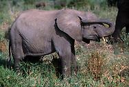 Baby elephant with trunk in ear, Tarangire National Park, © 1999 David A. Ponton