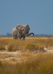 An elephant approaches from the forest, walking through tall grasses that showcase it's massive size