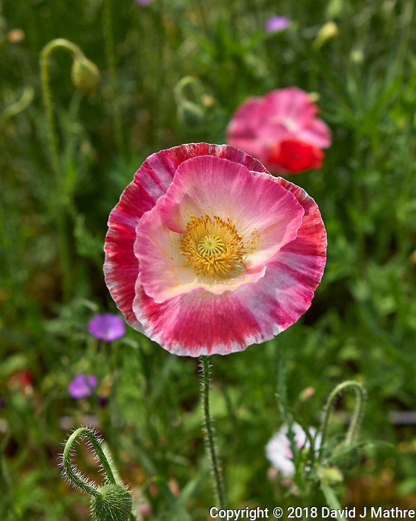 Pink Poppy Flower at Shinjuku Chuo Park in Tokyo. Image taken with a Leica CL camera and 23 mm f/2 lens.