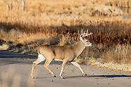 Mature whitetail buck crossing a gravel road in autumn habitat