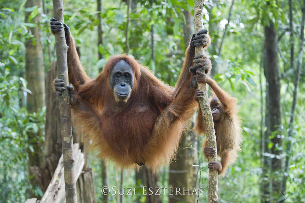Sumatran Orangutan<br /> Pongo abelii<br /> Mother and 6 month old baby <br /> North Sumatra, Indonesia<br /> *Critically Endangered