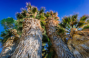 California fan palms at the Cottonwood Spring Oasis, Joshua Tree National Park, California USA