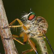 A robber fly (Asilidae) in Khai Yai National Park, Thailand