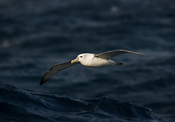 Shy Albatross (Thalassarche cauta) in flight, Auckland Islands, New Zealand