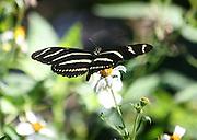 A Zebra Longwing Butterfly, Georgia, feeds on the nectar of Jekyll Island wild flowers