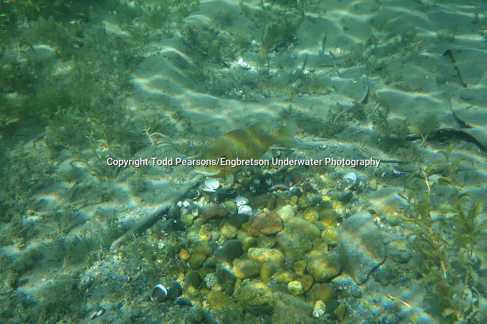 Bluegill (Spawning Nest)<br /> <br /> Todd Pearsons/Engbretson Underwater Photography
