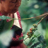 Mujer recogiendo cafe en plantacion, Altamira de Caceres, Estado Barinas, Venezuela.