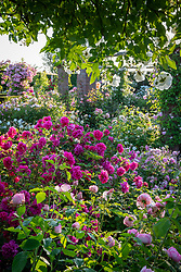General view of the David Austin rose garden. Roses include Rosa 'Tam O'Shanter' syn. 'Auscerise, 'Rosa 'The Mill on the Floss' syn. 'Austulliver' and Rosa 'Sander's White Rambler'